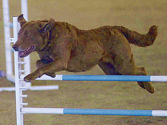 Chesapeake Bay Retriever - A Chesapeake Bay Retriever competing in agility