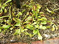 MP - Dionaea muscipula 1.jpg