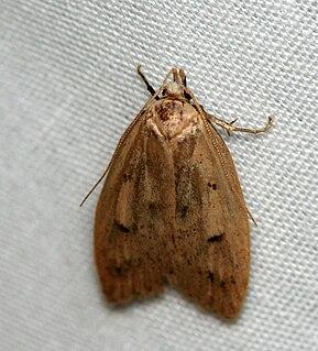 <i>Machimia</i> genus of insects