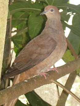 Macropygia phasianella (Brown Cuckoo-dove)-6