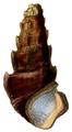 Madagasikara spinosa shell.png