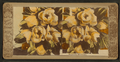 Magnolia blossoms, from Robert N. Dennis collection of stereoscopic views.png