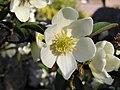 Magnolia laevifolia 052.jpg