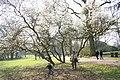 Magnolia soulangiana JPG1a.jpg