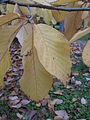 Magnolia sprengeri leaves 01 by Line1.JPG