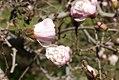 Magnolia stellata 7zz.jpg