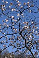 Magnolia stellata Rohrbach 2zz.jpg