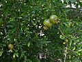 Magraner (Punica granatum), jardí botànic de València.JPG