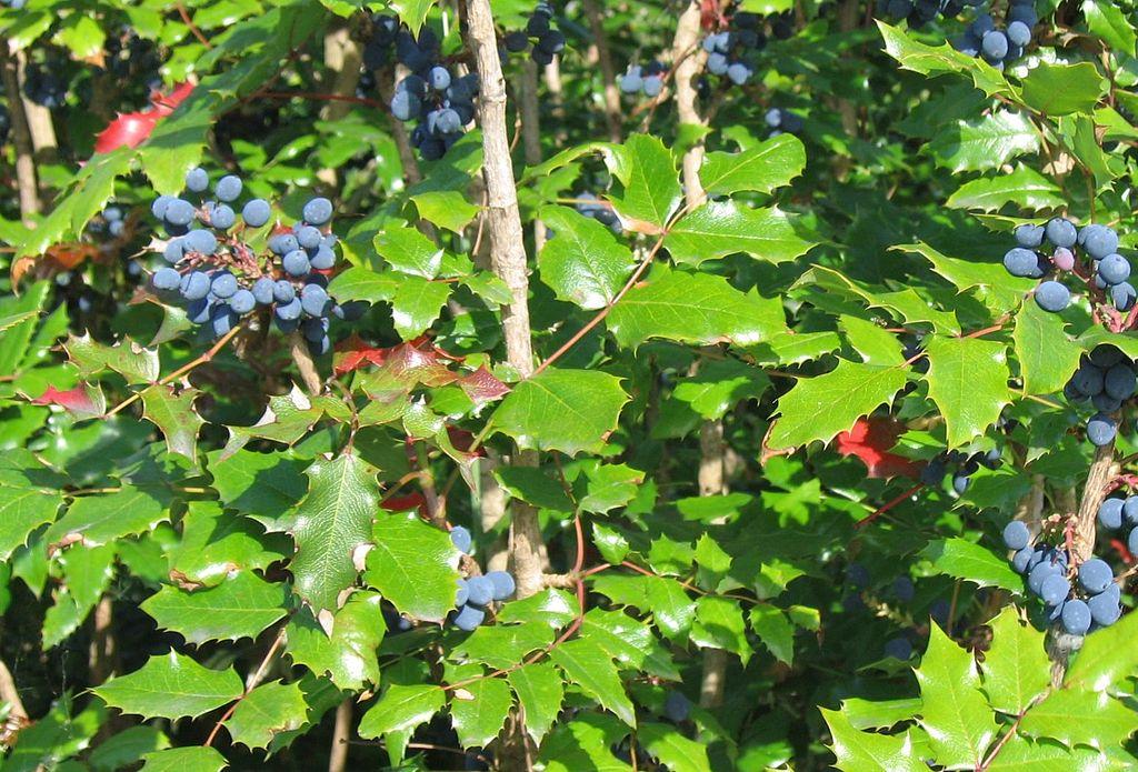 Mahónia cezmínolistá - plody a listy
