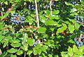 Mahonia aquifolium.jpg