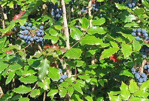 Mahonia aquifolium - Image: Mahonia aquifolium