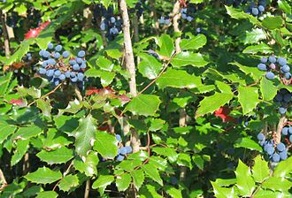 Northern Oregon Coast Range - Oregon-grape