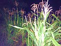 Maize at night, garden of Keyboa tribe.jpg