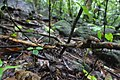 Malabar pit viper-Trimeresurus malabaricus-Vijay Karthick.jpg