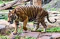 Malayan Tiger walking2.jpg