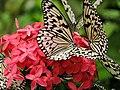 Malaysia - Penang Butterfly Gardens - 20 (5208963642).jpg