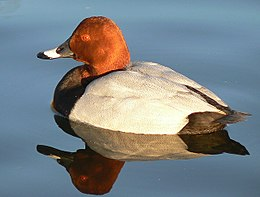 Male pochard reflection in evening.jpg