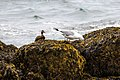 Mallard and American Herring Gull (42971534221).jpg