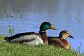 Mallard drake and duck (anas platyrhynchos).JPG