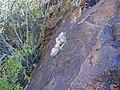 Mammillaria guelzowiana (5729880628).jpg