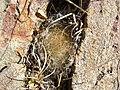 Mammillaria guelzowiana (5729997404).jpg