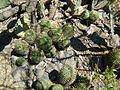 Mammillaria polyedra (5759345654).jpg