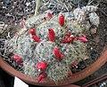 Mammillaria prolifera v haitiensis.jpg