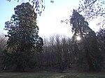 Mammutbäume in christianental 2019-02-24 -2.jpg