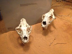 Tsavo Man-Eaters - The skulls of the Tsavo Man-Eaters, located in the diorama.