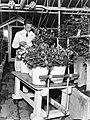Man in een broeikas bij een kar waarop emmers gevuld met rozen staan, Bestanddeelnr 189-1056.jpg