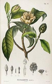 <i>Manglietia</i> genus of plants