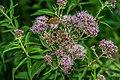 Maniola jurtina on Eupatorium cannabinum flowers 07.jpg