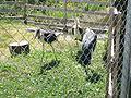 Marabouts (Jardin zoologique du Québec) - 2005-07.jpg