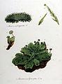 Marchantia polymorpha — Flora Batava — Volume v10.jpg