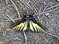 Mariposa Amarilla-Yellow Butterfly - panoramio.jpg
