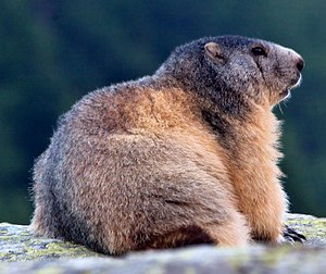 Alpine marmot - An alpine marmot at the end of summer. Note the fattened belly.