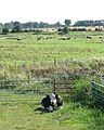 Marsh pasture south of the River Yare - geograph.org.uk - 1445606.jpg