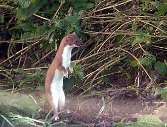 Carnivora - Least weasel, the smallest carnivoran
