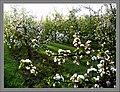 May Spring - Master Habitat Rhine Valley Photography 2013 - panoramio (6).jpg