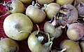Medlar (Mespilus germanica) fruits detail, Barrmill Park, North Ayrshire, Scotland.jpg