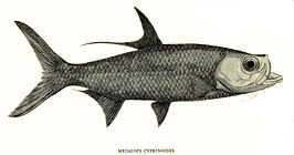 Megalops cyprinoides