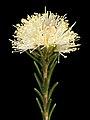 Melaleuca ciliosa - Flickr - Kevin Thiele.jpg