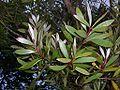 Melaleuca quinquenervia (leaves).JPG