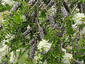 Melaleuca steedmanii CHCH 2.JPG