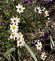 Melampodium leucanthum.jpg