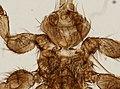 Melophagus ovinus (YPM IZ 093750).jpeg