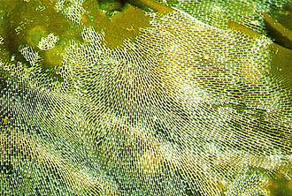 Bryozoa - lacelike Membranipora membranacea