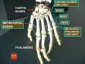 Metacarpus (left hand) dorsal view.png