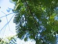 Metasequoia young female cones02.jpg