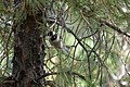 Mexican Chickadee Greenhouse Trail Portal AZ 2018-09-03 12-15-17 (48036438103).jpg